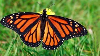 Photo of La migrazione della farfalla monarca simbolo di tante specie minacciate